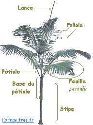 palmier evolution