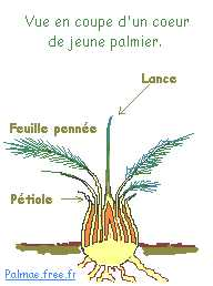 La multiplication des palmiers - Racine d un palmier ...
